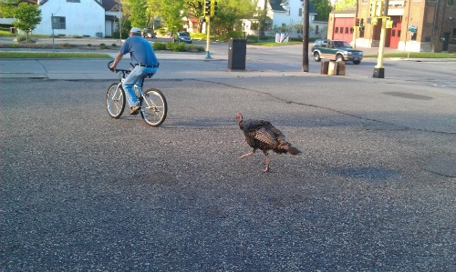Photo by Alyssa Johnson, originally posted on Facebook, subsequently published by http://blogs.citypages.com/blotter/2011/11/northeast_minneapolis_turkeys_video.php