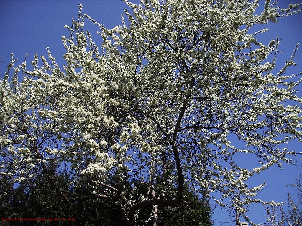 Prune tree in Spring blossom