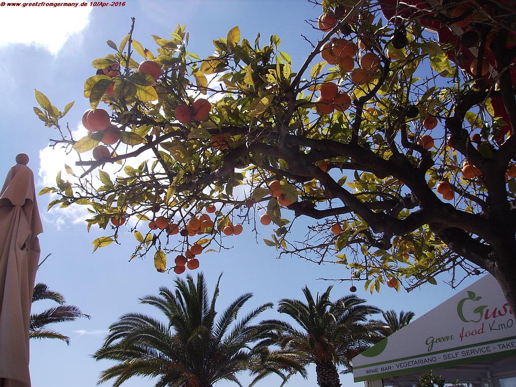 Mandarine trees