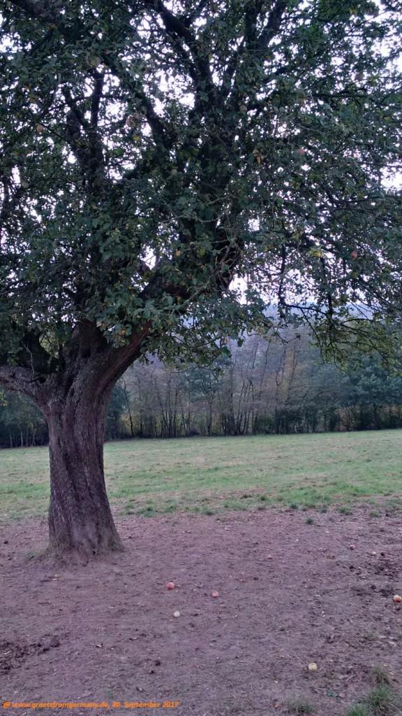 Für die Apfelernte sieht es in diesem Jahr, nach dem späten Nachtfrost im Frühjahr, leider düster aus.